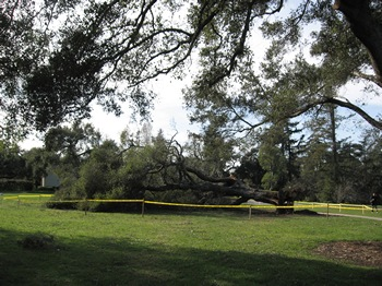 Huntington Garden ancient live oak blow over after wind storm