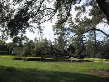Huntington Garden ancient live oak blow over after wind storm