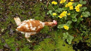 Victoria Connelly's hen Little Flo in garden