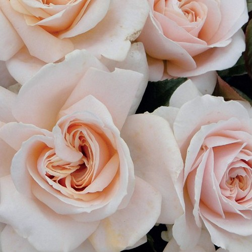 Image of the Pride and Prejudice rose by Harkness @ 2013 Harkness