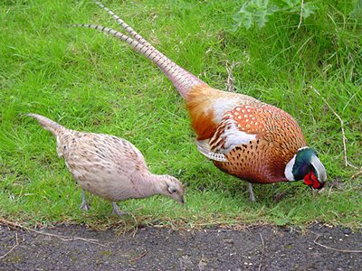 Male and female English pheasant